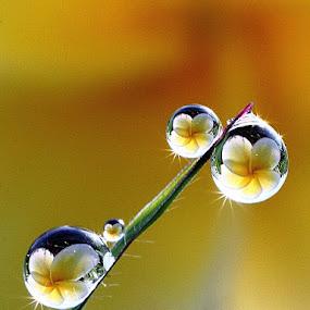 dews...dews.... by Dedy Haryanto - Nature Up Close Natural Waterdrops