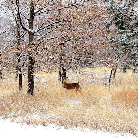 Fresh snow by Chris Clay - Animals Other Mammals