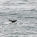 Young Humpback Whale Fluke