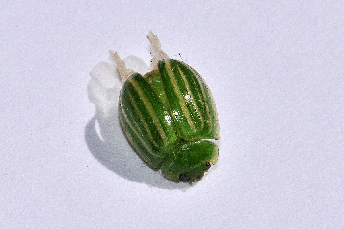 Green Striped Leaf Beetle