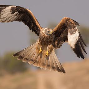 Red Kite by Howard Kearley - Animals Birds
