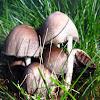 Common Ink cap Muschroom