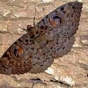 Great Owl Moth