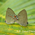 Red lined Scrub Hairstreaks