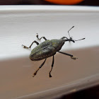 Weevil sp.