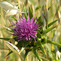 Purple Star thistle