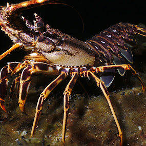 walking lobster by Adi Drnda - Animals Sea Creatures (  )