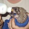 Southern white-breasted hedgehog babies (Σκαντζοχοιράκια)