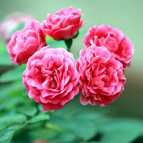 Five Sisters by Arjun Madhav - Flowers Flower Arangements ( nature, roses, beauty, sunlight, morning, leaves, flowers,  )