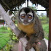 Mono de noche