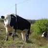 Vaca. Cow