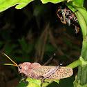 Purple Lubber Grasshopper