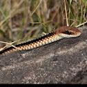 Cobra-cipó, Boettger's Sipo