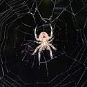 Tropical orb weaver spider