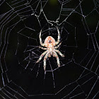 Tropical orb weaver spider