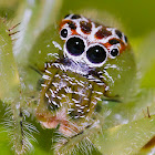 Green jumping spider (Female)