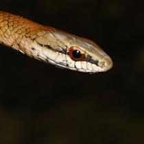 Anfibios y Reptiles de las Montañas y Valle de Orizaba, Veracruz.