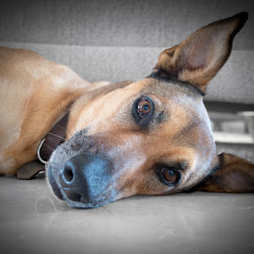 Too Lazy to Move! by . Reedd2 - Animals - Dogs Portraits ( face, pointed ears, eyes open, dog, portrait )