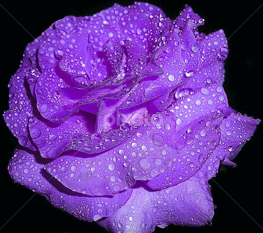 rose bud hindu dating site Hindu dating, hindu matrimonial, hindu marriage, free site, wedding, dating, canada, uk, religion, indian, temple, brahmin, love.