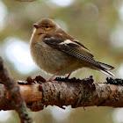 Female chaffinch (call)