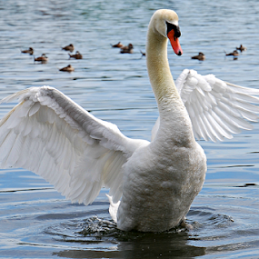 Swan  by Solomon Aseoche - Uncategorized All Uncategorized ( nature, wildlife, swan,  )