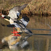 Common Merganser (Goosander)