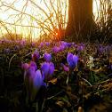 Spring crocus/Navadni žafran