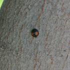 Twice Stabbed Ladybug
