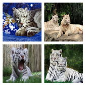 Tigers for Misti