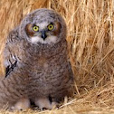 Great Horned Owl (Fledgling)