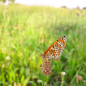 Lesser Spotted Fritillary