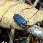 Diurnal firefly beetle