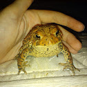 North American toad
