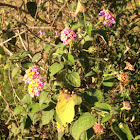 Tickberry