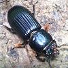 Beds Beetle