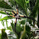 writing spider, black and yellow garden spider, or corn spider