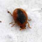Loew's Scymnus Lady Beetle