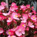 Begonia, Pichona