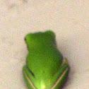 Barking Tree Frogs