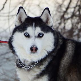 Husky by Dave Davenport - Animals - Dogs Portraits ( canine, husky, dog, domestic, eyes,  )