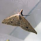 Heath Moth