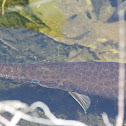 Patterned Gar Fish