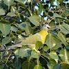 Yellow-footed Green Pigeon or Hariyal