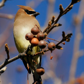 Cedar Waxwing by Andrew Johnson - Animals Birds ( bird, nature, wildlife, backyard, animal,  )