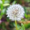 Dandelion (mature)
