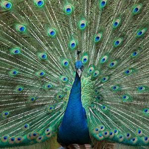 Peacock_01.jpg