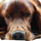 Doggy style Live Wallpaper icon