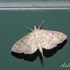 Southern Beet Webworm Moth