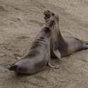 Northern Elephant Seal Pups