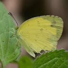 Anderson's Grass Yellow